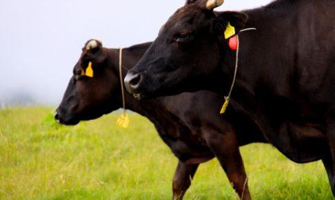 牛のホホ肉